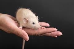 Portrait of baby rat Stock Images