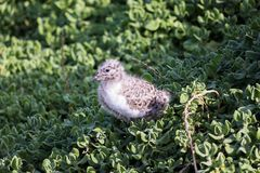 Seagull chick resting in grass stock photography