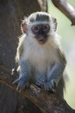 Portrait of a baby Vervet monkey Royalty Free Stock Photos