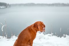 Portrait of back Hungarian vyzhla sit on snow in winter forest beiside lake royalty free stock photography