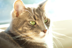 Portrait of backlit cat Royalty Free Stock Photos