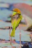 Portrait backside of Green Bee - eater Stock Image