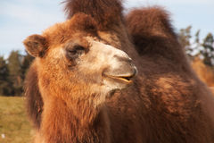 Portrait of a Bactrian Camel Stock Photos