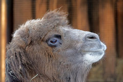 Portrait of Bactrian camel Stock Images