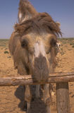 Portrait of a Bactrian camel in Kazakhstan Royalty Free Stock Photo