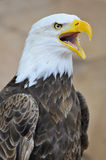 Portrait of bald eagle Stock Photo