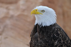 Portrait of bald eagle Stock Images