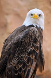 Portrait of bald eagle Royalty Free Stock Photography