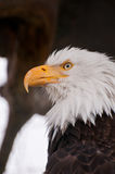 Portrait of bald eagle Royalty Free Stock Photo