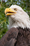 Portrait Of A Bald Eagle. A rescued Bald Eagle lives a healthy life in captivity in HawkQuest's birds of prey rescue and education program.  As a member, I got Royalty Free Stock Photo