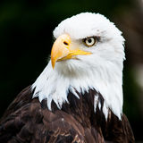 Portrait of a bald eagle. (lat. haliaeetus leucocephalus Stock Images