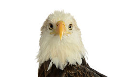 Portrait of bald eagle Stock Image