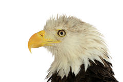 Portrait of bald eagle. Isolated on a white background Stock Photos