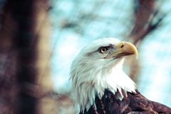 Portrait of a bald eagle Royalty Free Stock Images