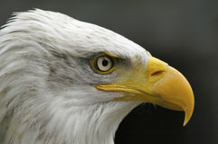 Portrait of a bald eagle Stock Photography