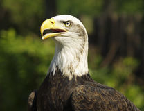 Portrait of bald eagle. With open beak or bill, green nature background Stock Photography