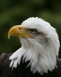 Portrait of a Bald Eagle. Portrait of a handsome Bald Eagle Stock Photo