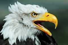 Portrait of a Bald Eagle against a dark green background stock image