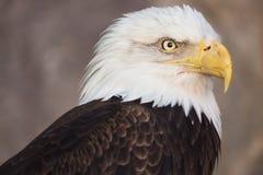 Portrait of a bald eagle. America national symbol. Latin name haliaeetus leucocephalus.  Stock Photos