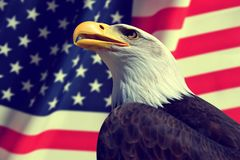 Portrait of a Bald Eagle. Portrait of a Bald Eagle in the background American flag Stock Image