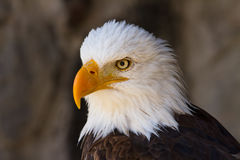 Portrait of a bald eagle close up side view Royalty Free Stock Images