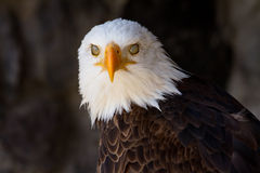 Portrait of a bald eagle with eyelids closed Stock Image