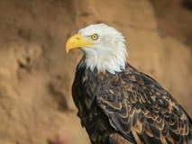 Portrait of a bald eagle in flight (lat. haliaeetus leucocephalu Stock Images