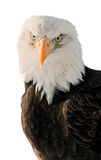 Portrait Bald Eagle (Haliaeetus leucocephalus ) Stock Photo
