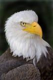 Portrait of a Bald Eagle, Haliaeetus leucocephalus Royalty Free Stock Image