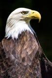 Portrait of Bald eagle Haliaeetus leucocephalus. Close up Portrait of Bald eagle Haliaeetus leucocephalus the national bird of America on black background Royalty Free Stock Photography