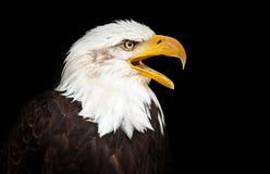 Portrait of a bald eagle haliaeetus leucocephalus. Portrait of a bald eagle lat. haliaeetus leucocephalus Royalty Free Stock Photos