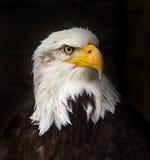 Portrait of a bald eagle haliaeetus leucocephalus. Portrait of a bald eagle lat. haliaeetus leucocephalus Stock Image