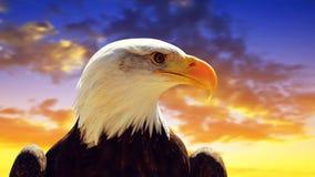 Portrait of a Bald Eagle Haliaeetus Leucocephalus Stock Photography