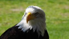 Portrait of Bald Eagle stock video