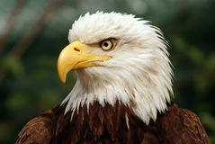 Portrait of a bald eagle. (lat. haliaeetus leucocephalus royalty free stock photography