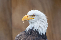 Portrait of a bald eagle Royalty Free Stock Photos