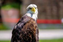 Portrait of a bald eagle lat. haliaeetus leucocephalus royalty free stock photo