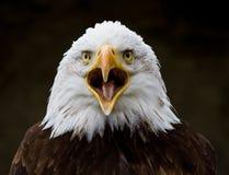 Portrait of a bald eagle lat. haliaeetus leucocephalus royalty free stock images