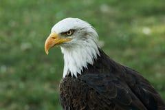 Portrait of a bald eagle (lat. haliaeetus leucocephalus) Royalty Free Stock Images