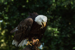 Portrait of a bald eagle (lat. haliaeetus leucocephalus) Stock Image