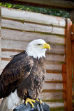 Portrait of a bald eagle. (lat. haliaeetus leucocephalus Royalty Free Stock Photos