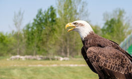 Portrait of Bald Eagle. Portrait of the National bird of USA, Bald Eagle royalty free stock images