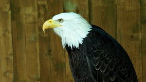 Portrait of a bald eagle. Haliaeetus leucocephalus staring into the distance stock video