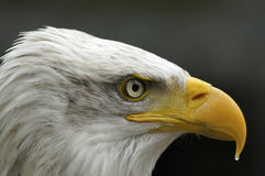 Portrait of a bald eagle. Royalty Free Stock Images