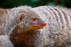 Portrait of a banded mongoose looking backwards Stock Images