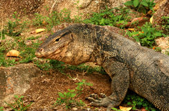 Portrait of a banded monitor lizard Royalty Free Stock Image