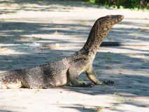 Portrait of a banded monitor lizard Royalty Free Stock Photos