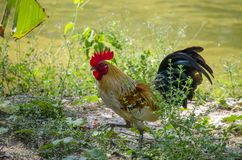 Portrait of bantam red cock animals wildlife in Thailand.  royalty free stock photography