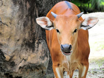 Portrait of a Banteng Cow Stock Photos