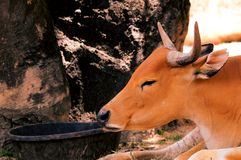 Portrait of banteng cow Royalty Free Stock Image